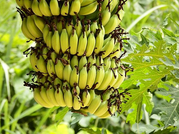 banana-bunch-1442837481wI7